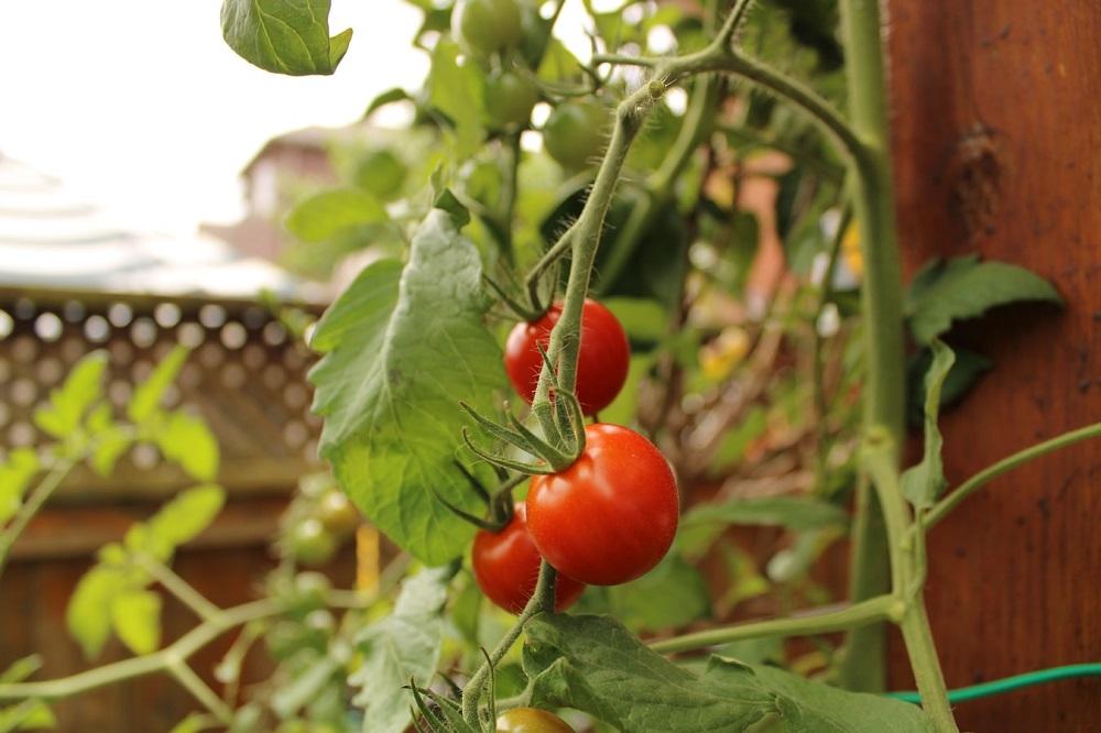 uzgoj rajčice na balkonu
