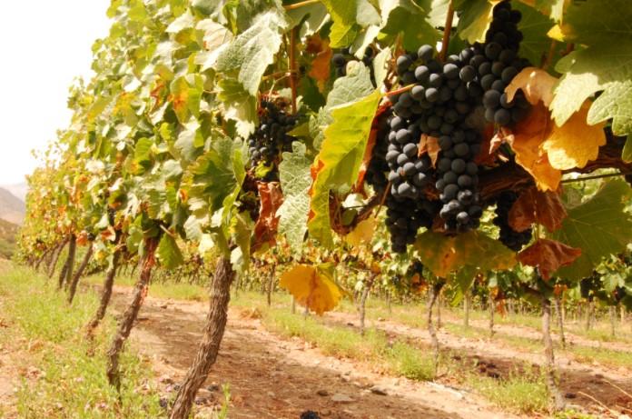 Analiza vina Višnjan, Poreč, Istra
