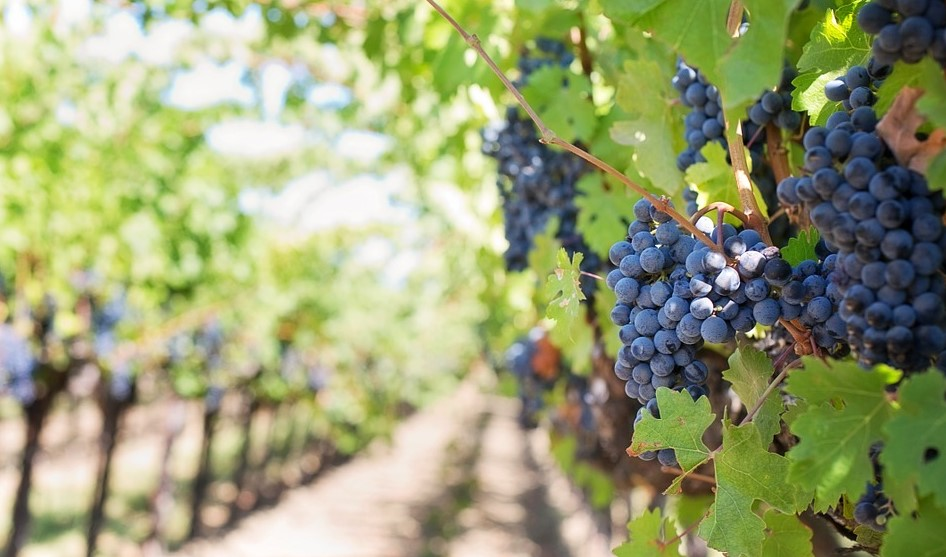 Istarska vina - Istrian wine Poreč, Istra