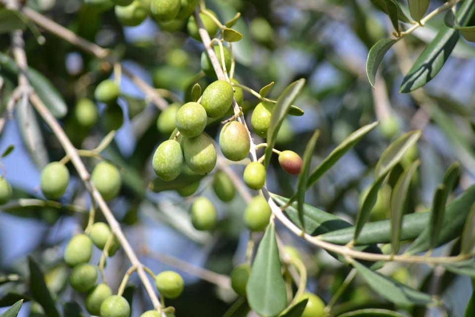 Proizvodnja maslinovog ulja Istra