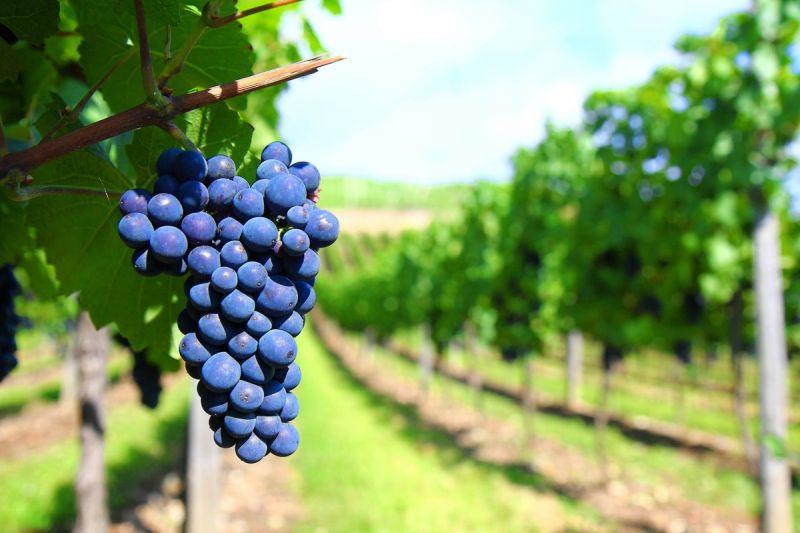Proizvodnja vina - Istarska vina Ravalico