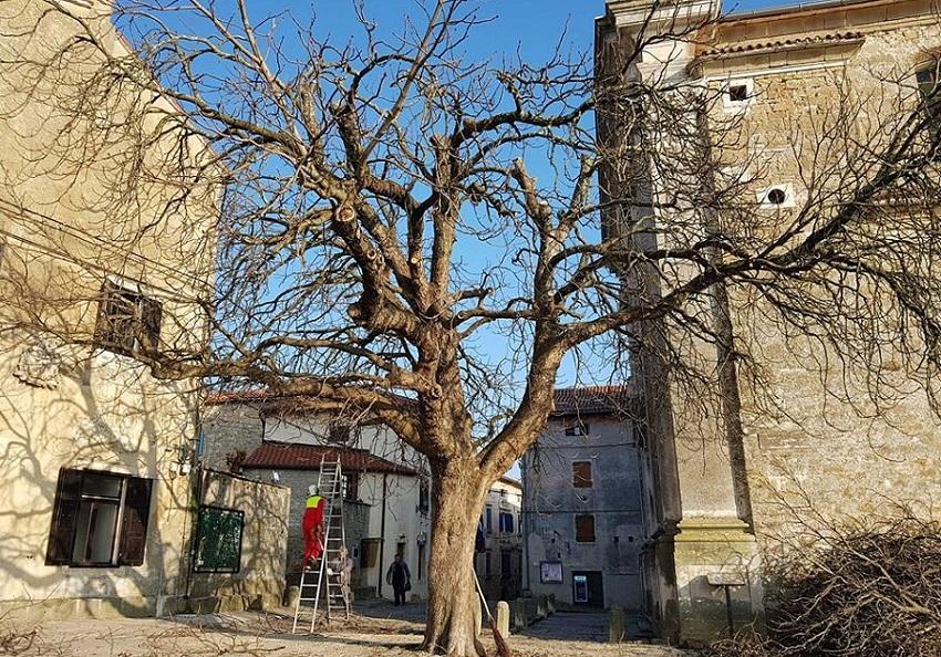 Rušenje drveća i rezanje grana, Pazin