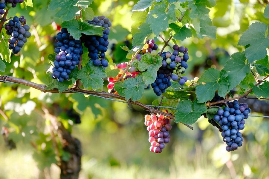 Branje grožđa, mehaničko branje, Istra