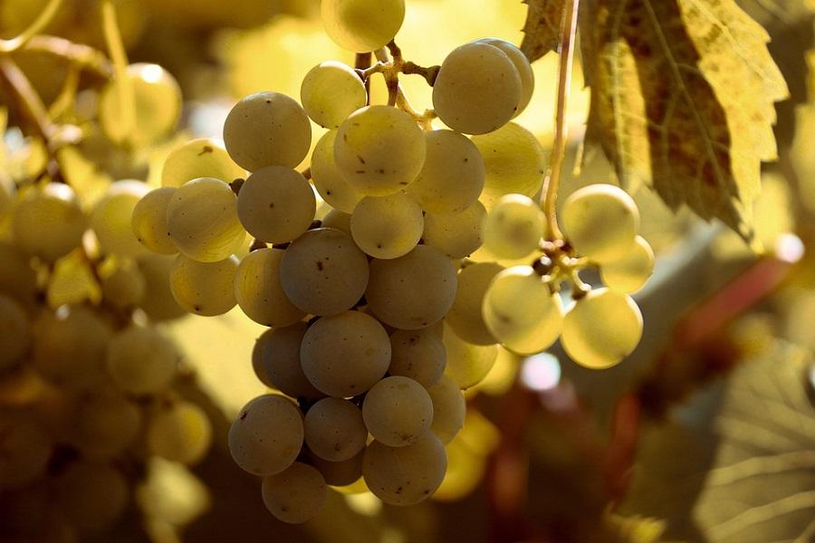 Strojno branje grožđa, Istra