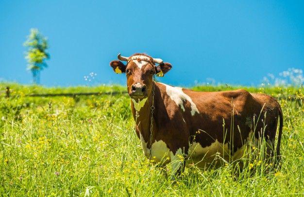 Radnik za rad na farmi muznih krava (m/ž)