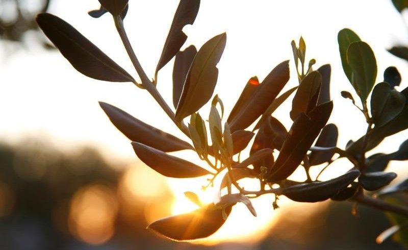 22. međunarodna manifestacija o maslini i maslinovom ulju u Taru