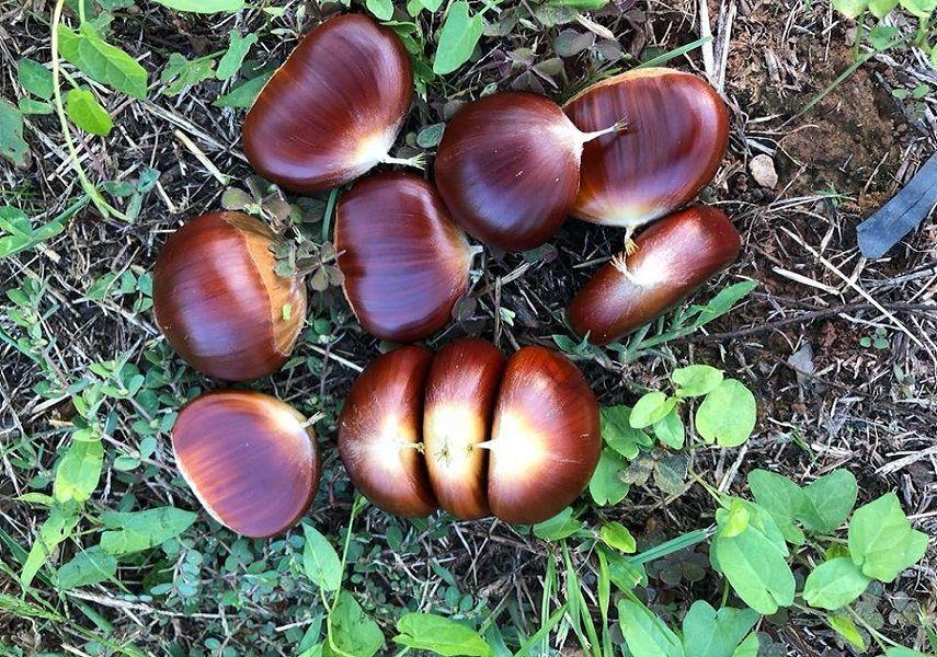Rasadnik iz Rovinja koji je dokazao kako se uspješno baviti uzgojem pitomog kestena