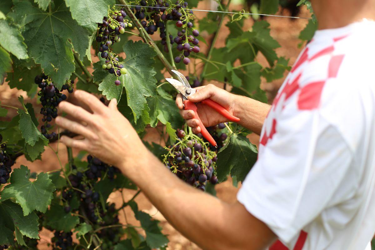 Villa Dobravac u Rovinju gostima nudi istarsko vino, maslinovo ulje i domaće povrće (video)