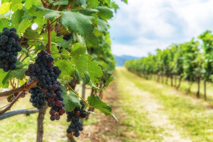 Obiteljski obrt iz Tara koji je ljubav prema vinovoj lozi pretočio u kvalitetna vina